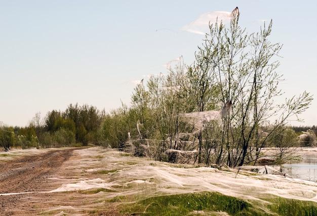 Spinnen en het gezin in de vliezen op de bomen bij de vijver. siberië. rusland.