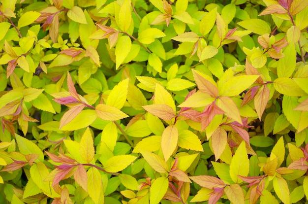 Spirea japanse gouden vlam met gele bladeren en rode scheuten van dichtbij