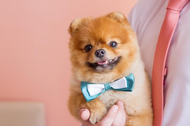 Spitz hond met een vlinderdas op man handen gelukkig gember hond portret van grappige hondje kijk naar de camera