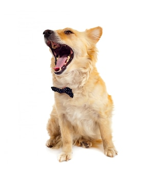Spitz hond op witte achtergrond