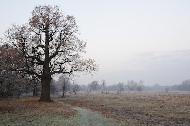 Spookachtig ogende en oude eik in de winter zonder bladeren, alleen zichtbaar door dichte mist.