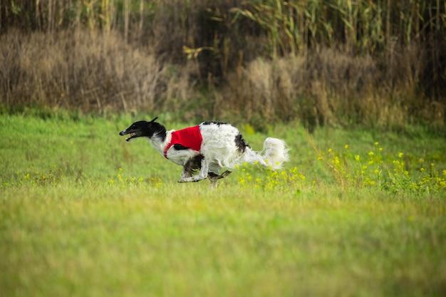Sportieve hond die presteert tijdens het coursing in competitie.