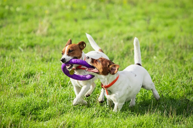 Sportieve hond presteert tijdens de kunstaas coursing in competitie