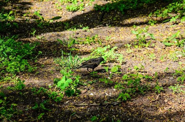 Spreeuw op zoek naar voedsel op een grond in het park