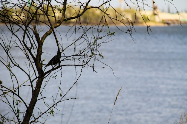 Spreeuw (sturnus vulgaris) op boomtak