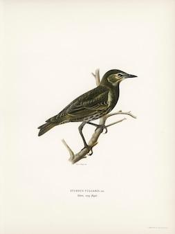 Spreeuw (vulgaris sturnus) geïllustreerd door de gebroeders von wright.