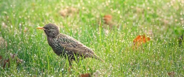 Spreeuw zittend op het groene gras met dauwdruppels