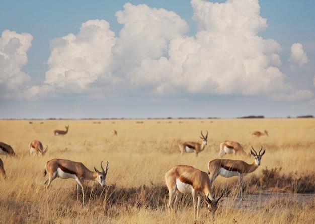 Sprinboks in afrikaanse prairie, namibië