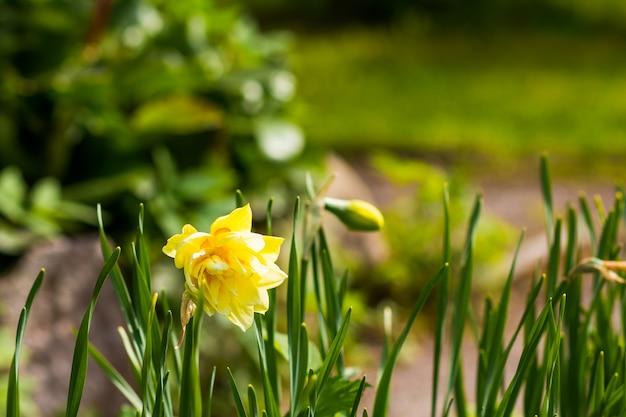 Spring gele gele narcissen in de tuin op
