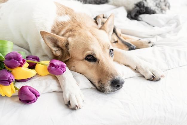 Spring tulpen en honden in het bed. leuke groep gemengde rassenhonden die op het bed met tulpen liggen