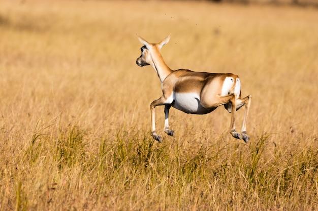 Springbok antilope, kalahari woestijn, zuid-afrika