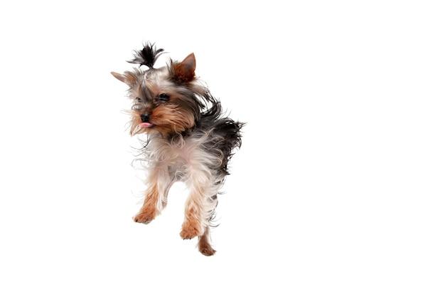 Springen little yorkshire terriër hond speelt schattig speels hondje of huisdier geïsoleerd