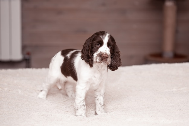 Springer spaniel puppy. 3 maanden. comfort voor thuis. hond