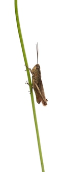 Sprinkhaan chorthippus montanus op geïsoleerde installatiestam