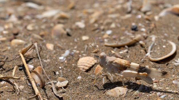 Sprinkhaan in het zand, close-up