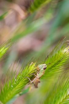 Sprinkhaan in zijn natuurlijke omgeving.
