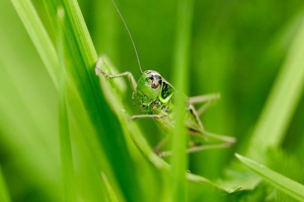 Sprinkhaan op het blad van gras close-up. groene sprinkhaan. macrofoto van een sprinkhaan.