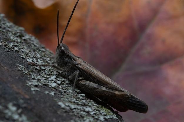 Sprinkhanenzitting op een schors, macrofoto