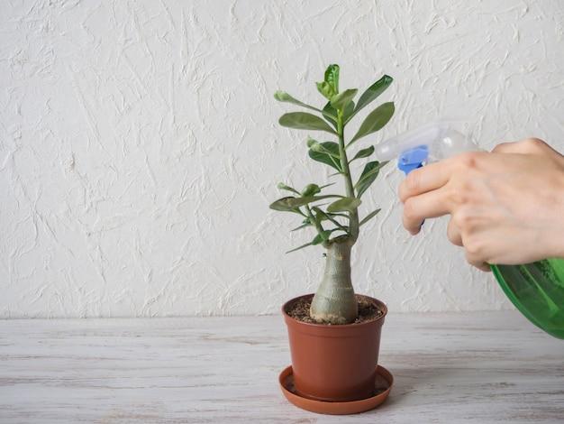 Sproeier en potplant adenium op tafel. het kweken van kamerplanten.