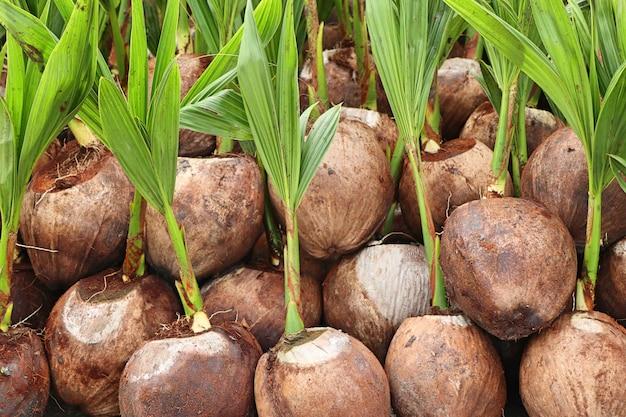 Spruit van kokospalm