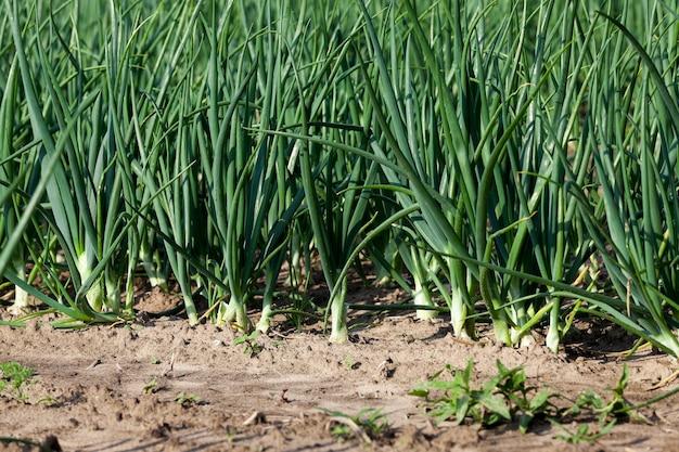Spruiten groene uien - spruiten van groene uien op het gebied van landbouw, landbouw