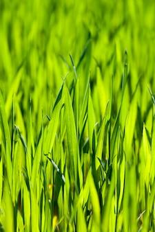 Spruiten van tarwe