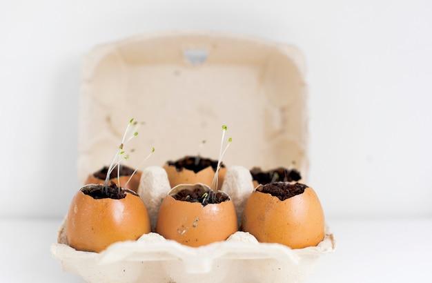 Spruiten zaailingen in eierschalen.