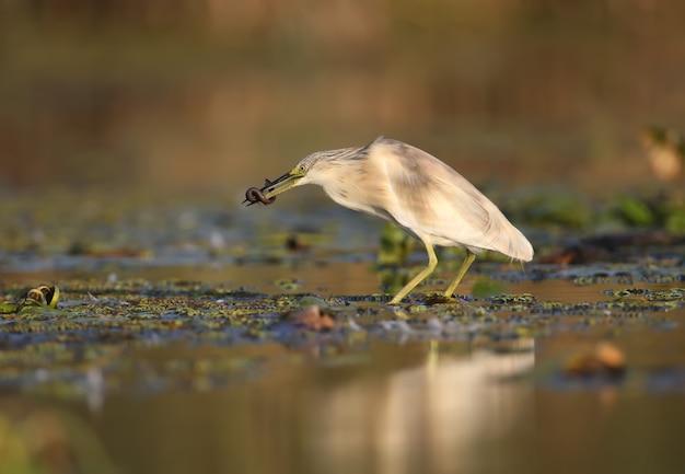 Squacco reiger (ardeola ralloides) in het winterkleed gefilmd in zacht ochtendlicht. houdt in zijn bek gevangen prooi - een grote modderkruiper. ongebruikelijke hoek en close-upfoto