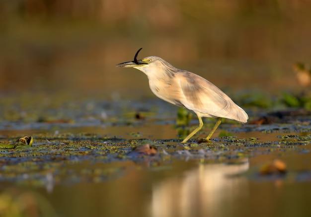 Squacco reiger (ardeola ralloides) in het winterkleed gefilmd in zacht ochtendlicht. houdt in zijn bek gevangen prooi - een grote modderkruiper.