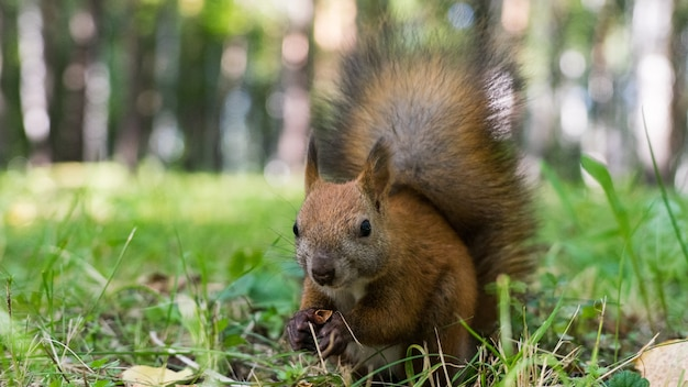 Squirell close-up in bos, herfst in siberië