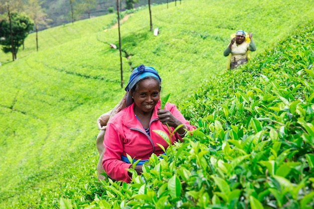 Sri lanka, nuwara eliya, mackwoods labookellie, theeplantage, theeplukkers op het werk