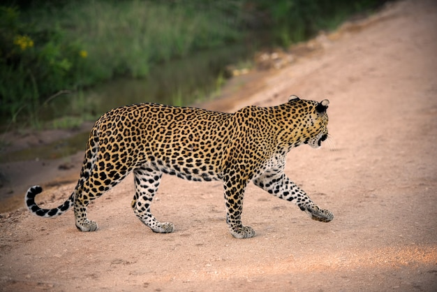 Sri lankaanse luipaard in yala national park