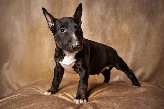 Staande zwarte miniatuur bull terrier puppy