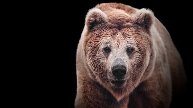 Staar naar een vrouwtje van een bruine beer. macrogezichtsportret van het machtigste beest van de wereld. oog in oog met ernstige en zeer gevaarlijke roofdieren.