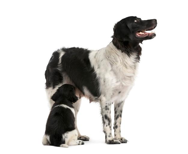 Stabij moeder die haar puppy de borst geeft die op wit wordt geïsoleerd