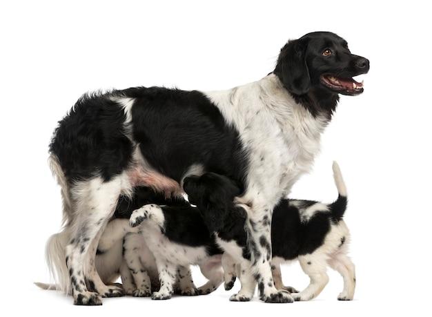 Stabij moeder die haar puppy's de borst geeft die op wit wordt geïsoleerd