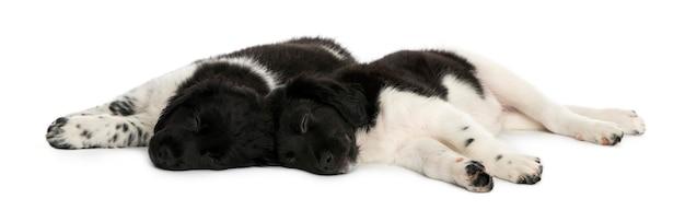 Stabij pups liggen samen rusten geïsoleerd op wit