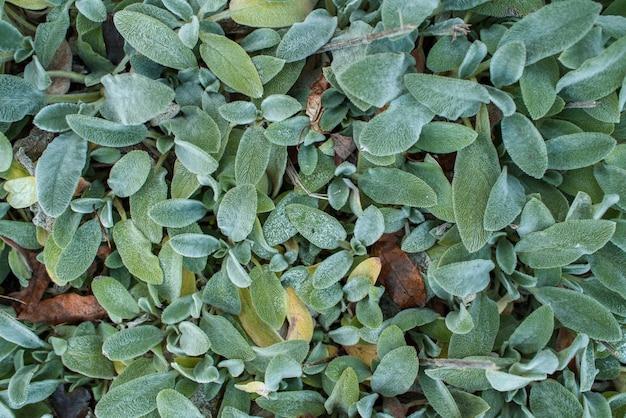 Stachys byzantina plant op een warme zonnige herfstdag.