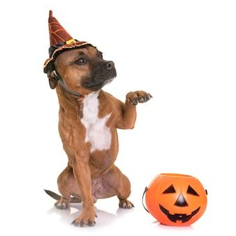 Staffordshire bull terrier en halloween