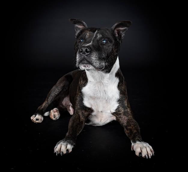 Staffordshire bull terrier voor zwarte muur