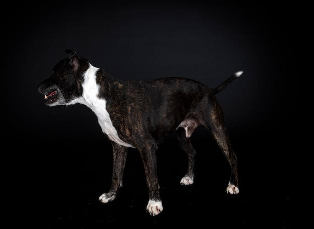 Staffordshire bull terrier Premium Foto