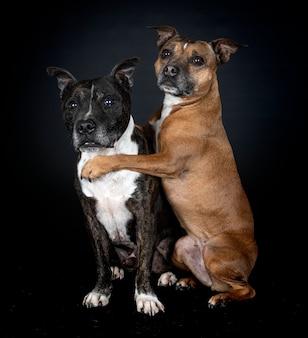 Staffordshire bull terriers voor zwarte muur