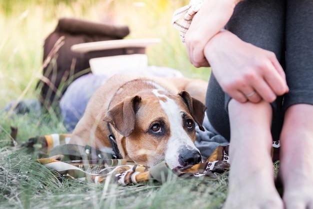 Staffordshire terriër puppy gaat liggen in de buurt van een vrouw en kijkt omhoog