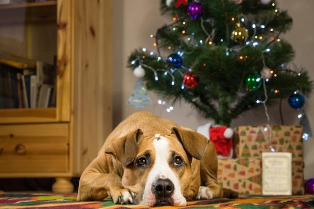 Staffordshire terriërhond die op tapijt in dront van kerstmisboom liggen