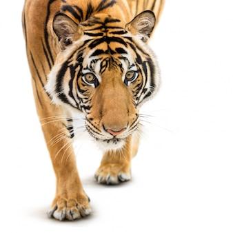 Stalking siberische tijger