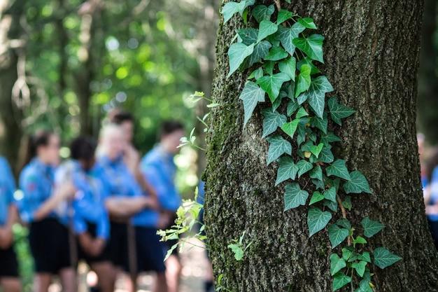 Stam van boom met klimop en op de achtergrond een groep verkenners wazig.