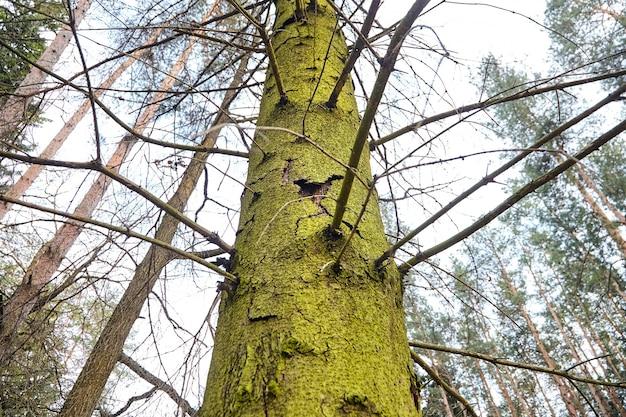 Stam van sparren met exfoliërende schors. zieke boom beschadigd door schorskever