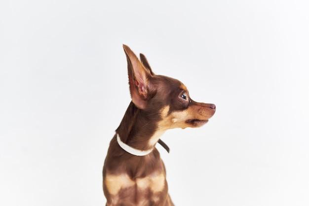 Stamboom hond chihuahua poseren geïsoleerde achtergrond