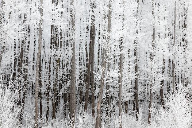 Stammen en takken van loofbomen bedekt met grote witte kristallen van ijs, sneeuw en rijp in de ochtend, het winterlandschap in het loofbos