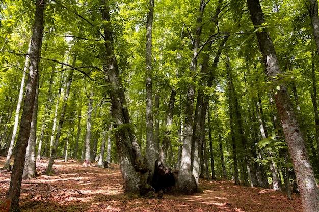 Stammen van eeuwenoude kastanjebomen.